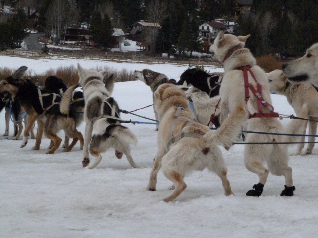 sled dog breeds Car Tuning